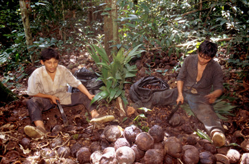 A pair of harvesters collecting brazil nuts