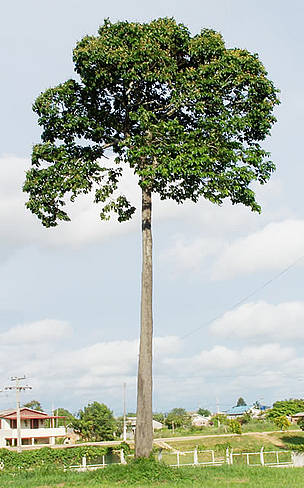 Candela Peru_brazil_nut_tree