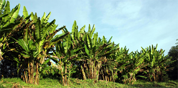 Abaca Plants