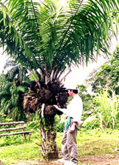 A Tagua Tree